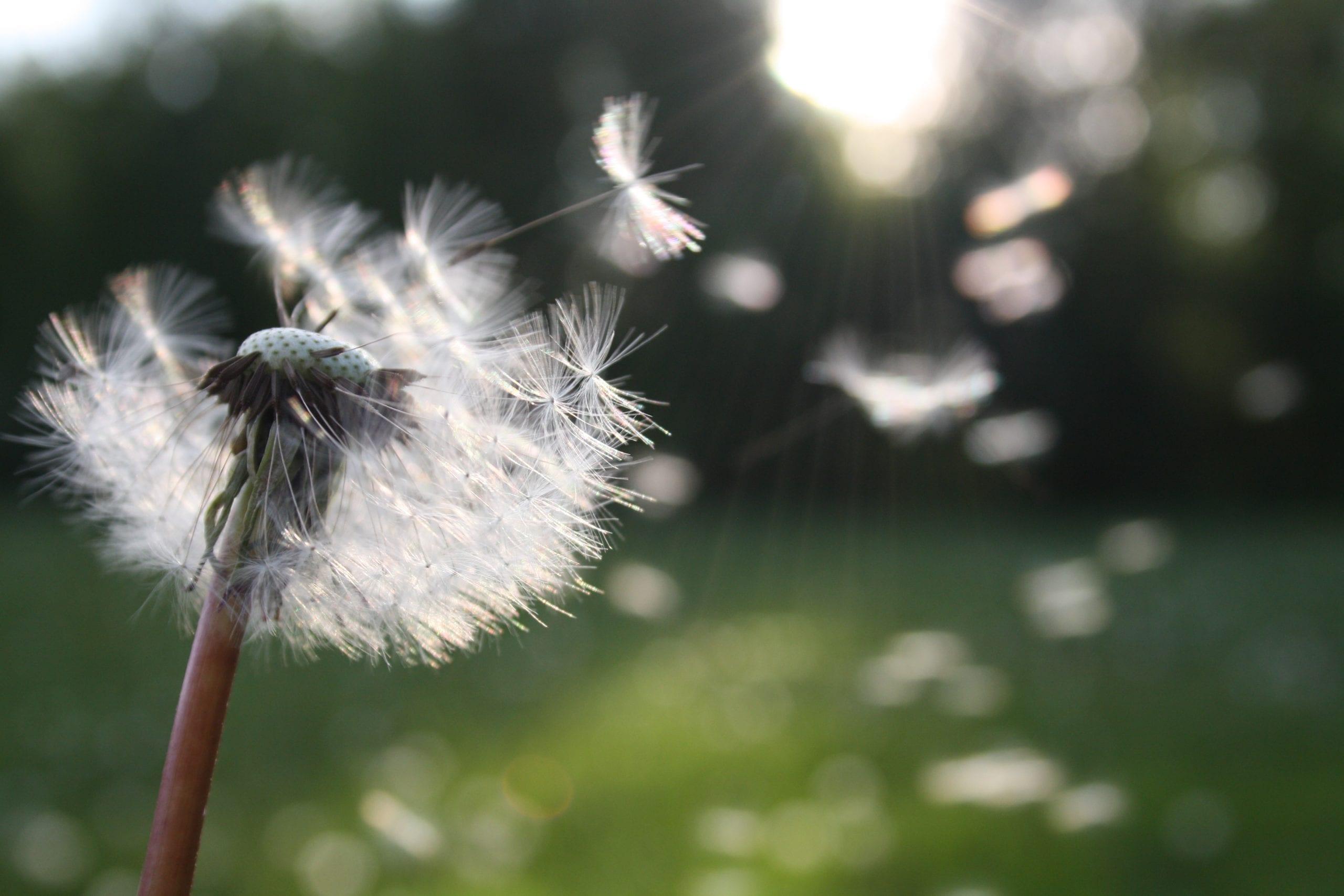 Pollen fliegen durch die Luft von Pusteblume